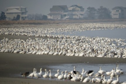 Snow Geese along the Delaware bayshore (Photo by Alan Kneidel)