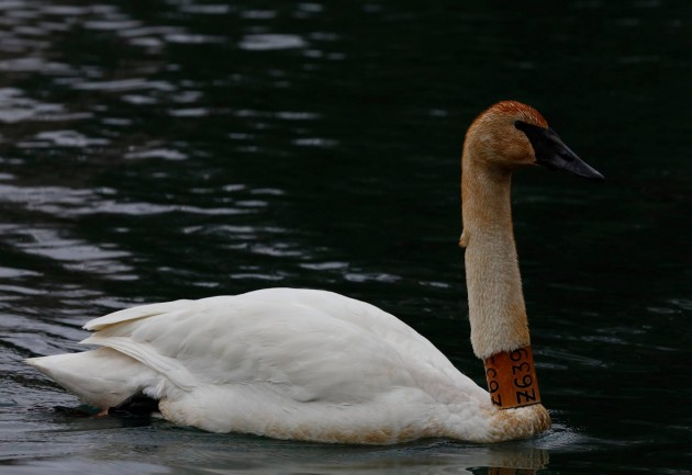 Trumpeter Swan Z639 which has been spotted in Adams County and Cumberland County. (Photo by Dave Kerr)