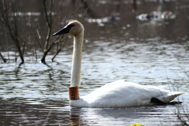 Trumpeter Swan Z603 which is currently in Schuylkill County with Z675. (Photo by Alex Lamoreaux)