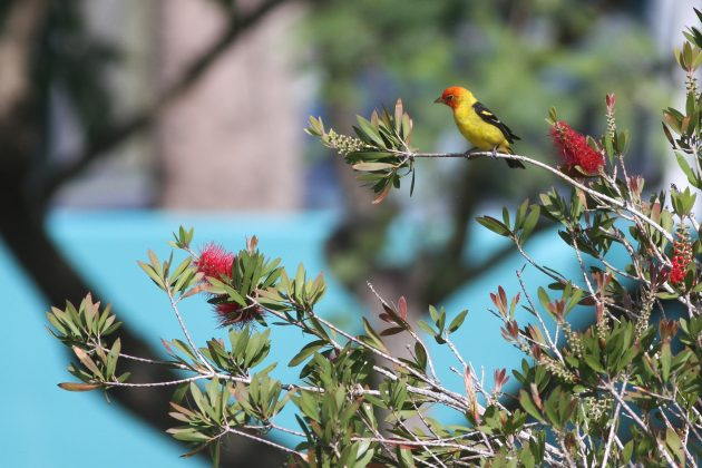 Western Tanager adult male (Photo by Alex Lamoreaux)