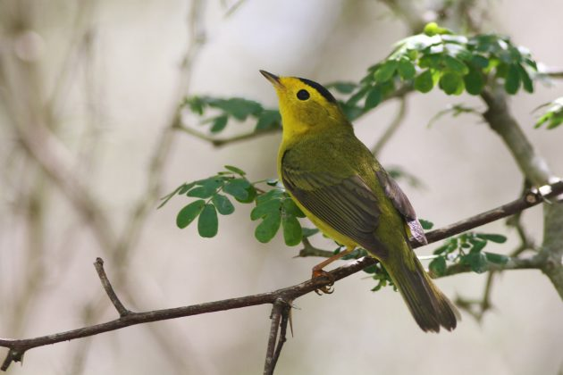Wilson's Warbler adult male (Photo by Alex Lamoreaux)