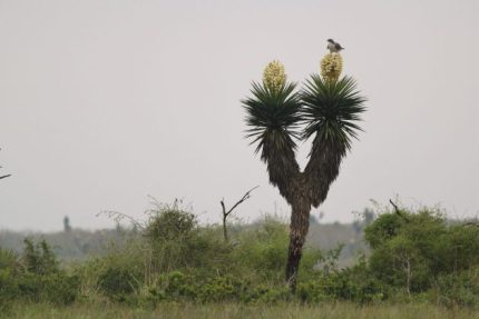 Adult White-tailed Hawk surveying the savanna (Photo by Alex Lamoreaux)
