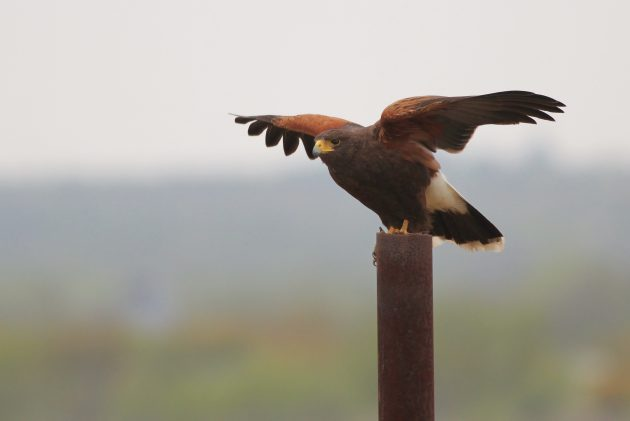 Harris's Hawks, like this adult, often lift their wings slightly after landing - but that's not really helpful for IDing them as they are fairly unique in their appearance and shape. (Photo by Alex Lamoreaux)