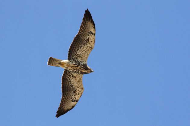 Immature Swainson's Hawk showing an intermediate color-type plumage (Photo by Alex Lamoreaux)