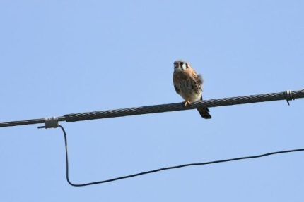 Immature male American Kestrel along Boca Chica Blvd (Photo by Alex Lamoreaux)