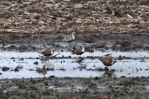 Leucistic/dilute American Golden-Plover (back) with 'normal' American Golden-Plovers in the foreground (Photo by Alex Lamoreaux)