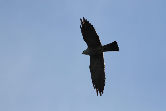 Mississippi Kite heading to roost one evening (Photo by Alex Lamoreaux)