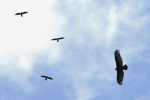 Immature Turkey Vulture - with wing molt - soaring near Mississippi Kites (Photo by Alex Lamoreaux)