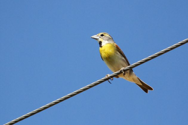 Dickcissel on a wire - there's really nothing more symbolic of central Illinois that that. (Photo by Alex Lamoreaux)