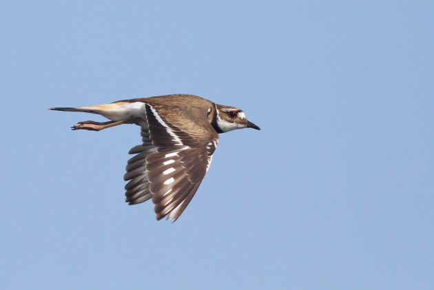 Molting Killdeer in flight (Photo by Alex Lamoreaux)