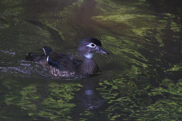 Female Wood Duck (Photo by Alex Lamoreaux)