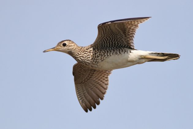 Upland Sandpiper (Photo by Alex Lamoreaux)