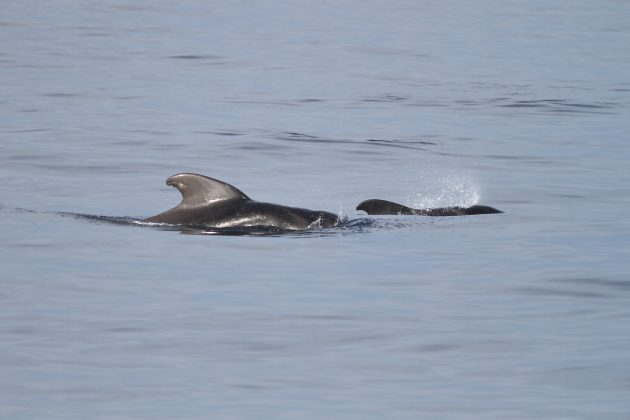 [Short-finned?] Pilot Whale and calf (Photo by Alex Lamoreaux)