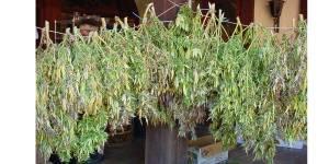 NEMiss.News MS medical marijuana back on track?