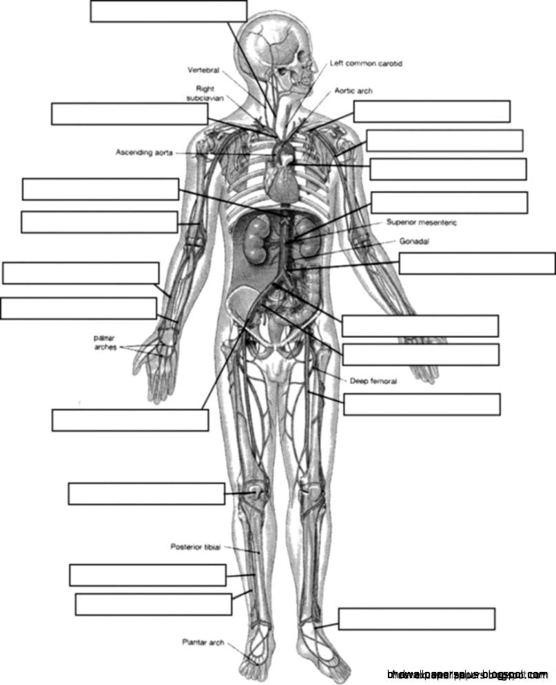 Human Anatomy And Physiology Coloring Book 6941