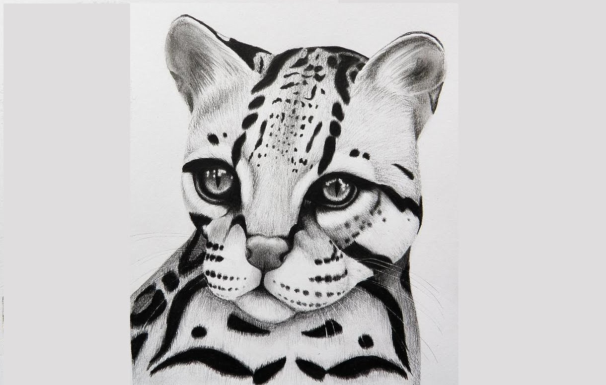 10 Cheetah Drawing Ocelot For Free Download On Ayoqq Org