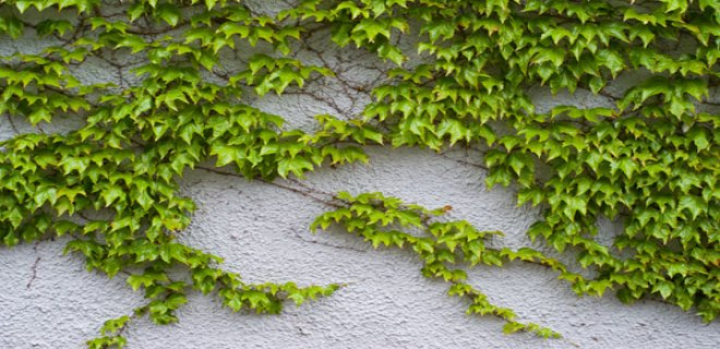 wall-Ivy