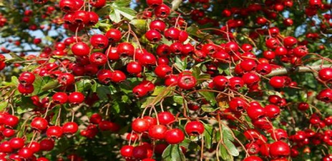 kurt uzumu nedir ve faydalari nelerdir - What is goji berry and what are the benefits ?