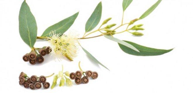 okaliptus bitkisi - The Benefits Of Eucalyptus Oil