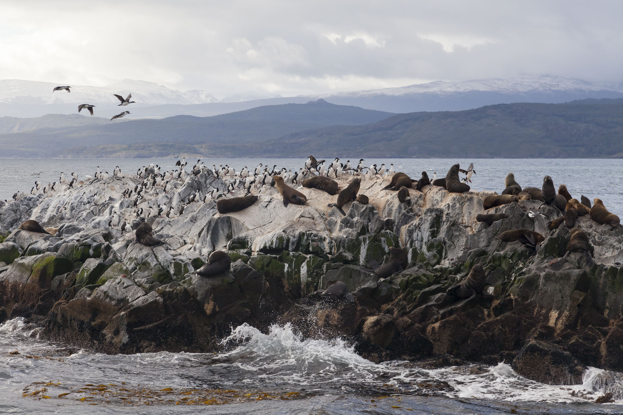 Beagle Channel, Sea Lions, Cormorants