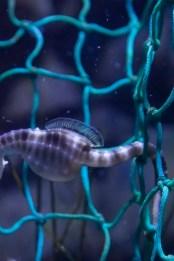 Pregnant Seahorse