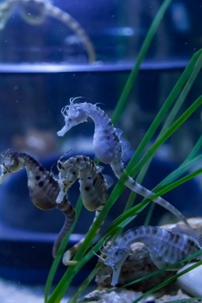 Pregnant Seahorses