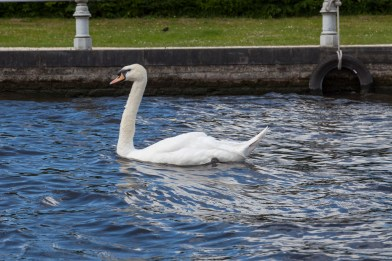 Swan, Bruges