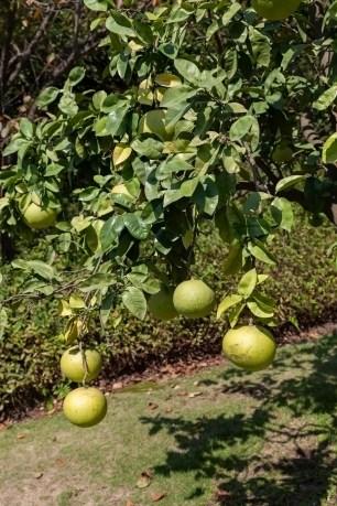Bontan Fruit