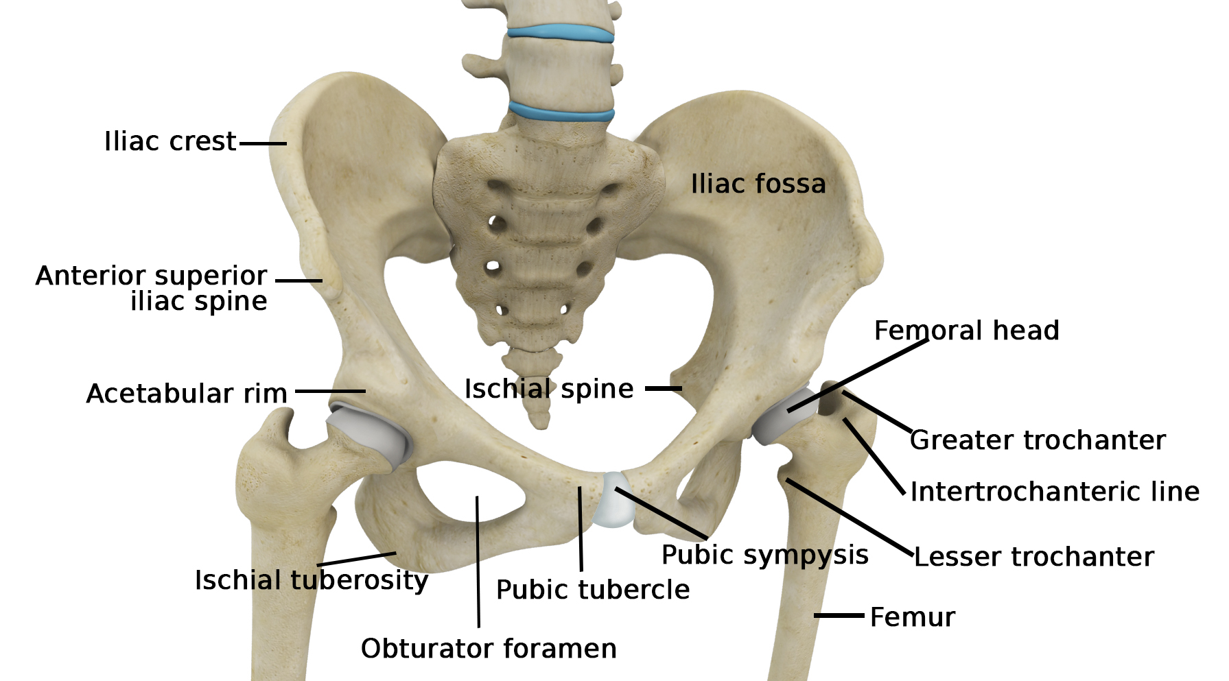 hip joint diagram fisher minute mount 2 wiring anatomy human topsimages