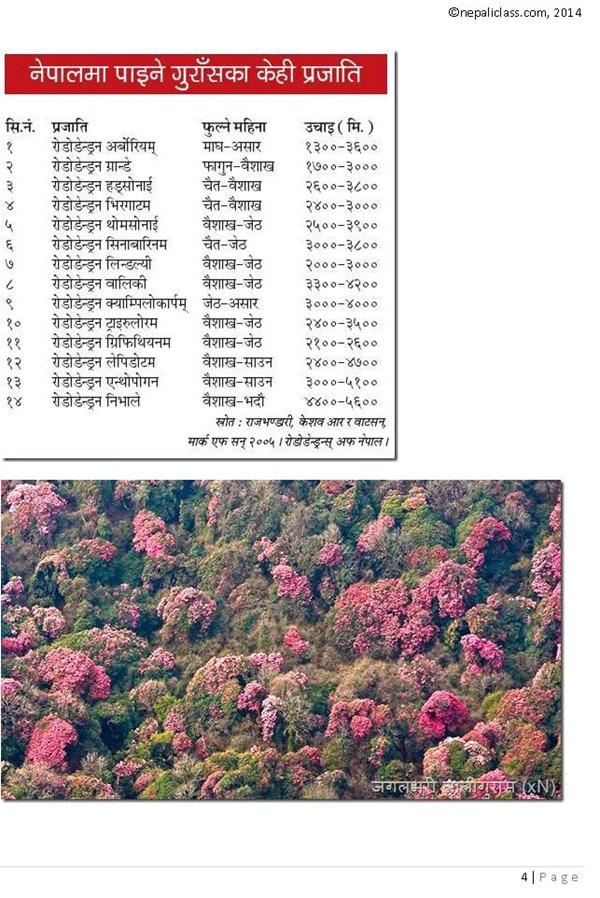 Rhododendron- lali gurash nepaliclass_Page_4