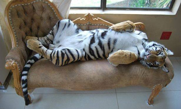 This tiger knows how to sleep like a Boss