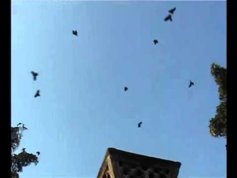 काठमाडौंमा काग सम्मेलन, आकाशमा फनफनी घुमे काग (भिडियोसहित)