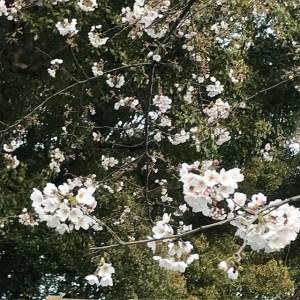 【Instagram】上野公園の桜。満開に近くなりました。また訪れよう。#桜 #花見