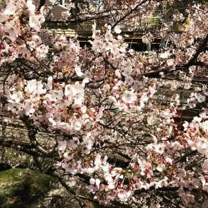 【Instagram】飯田橋駅付近の桜。だいぶ咲いてました。満開まであと少しかな。#桜