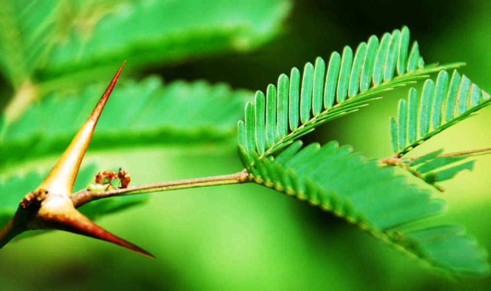 How plants evolved to make ants their servants