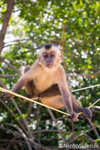 Macaco-prego em Vassouras