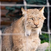 Lince - Alaska Wildlife Conservation Center