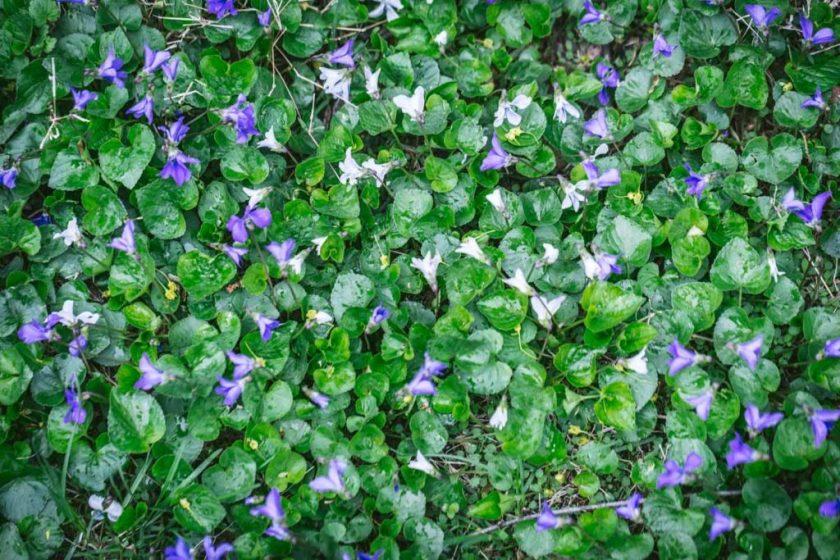 Violets for Syrup