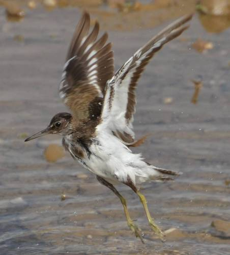 Common Sandpiper, Actitis hypoleucos