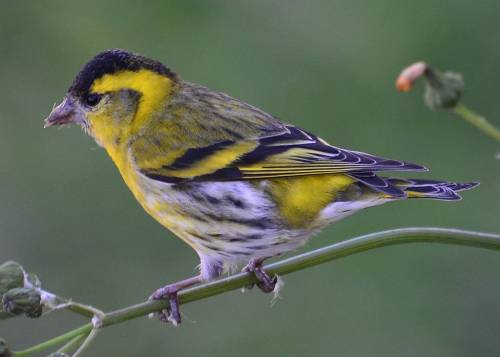 Siskin, Nerja, March 20th