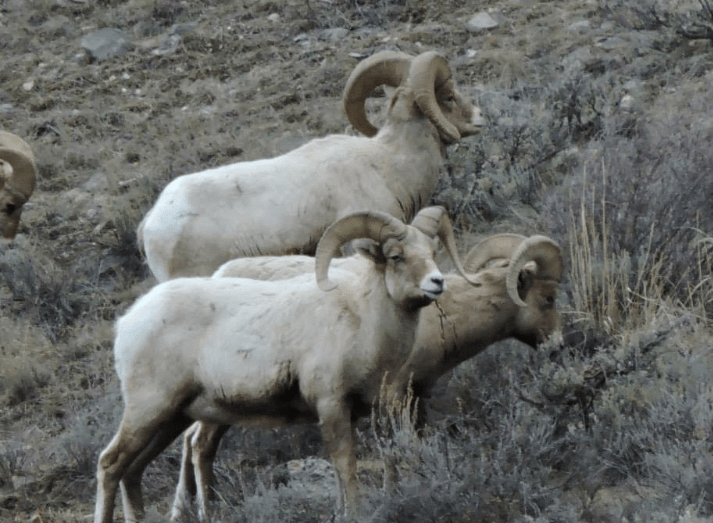 Big horn sheep winter on Miller Butte on the National Elk Refuge