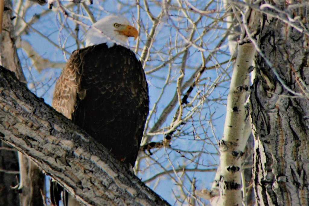 Eagle overlooks the National Elk Refuge from a tree