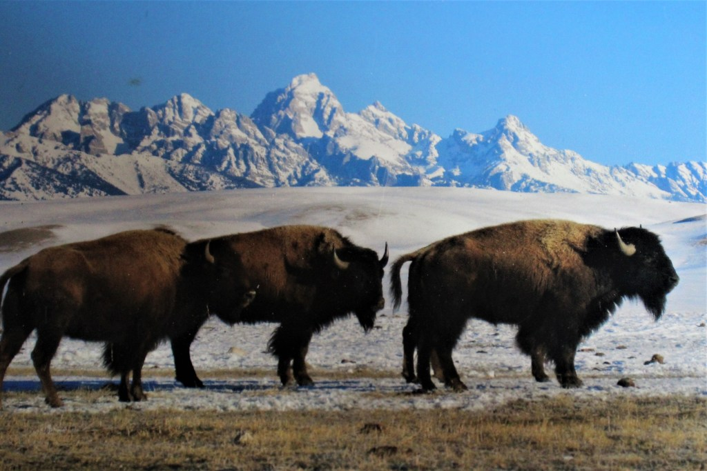 Bison winter on the north end of the National Elk Refuge