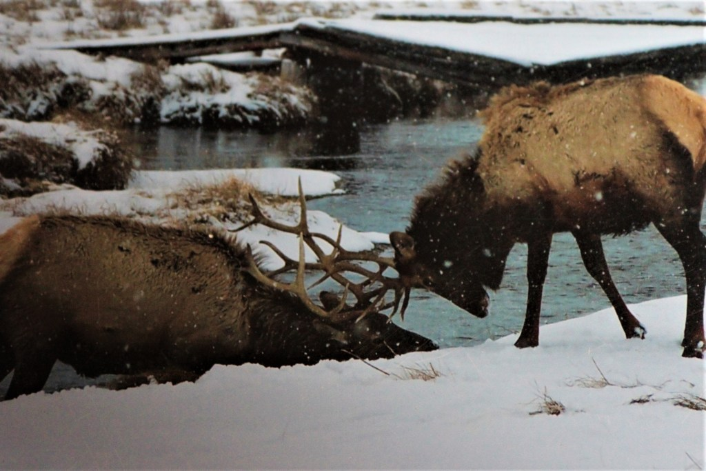 Elk sparring on the bank of Flat Creek on the National Elk Refuge