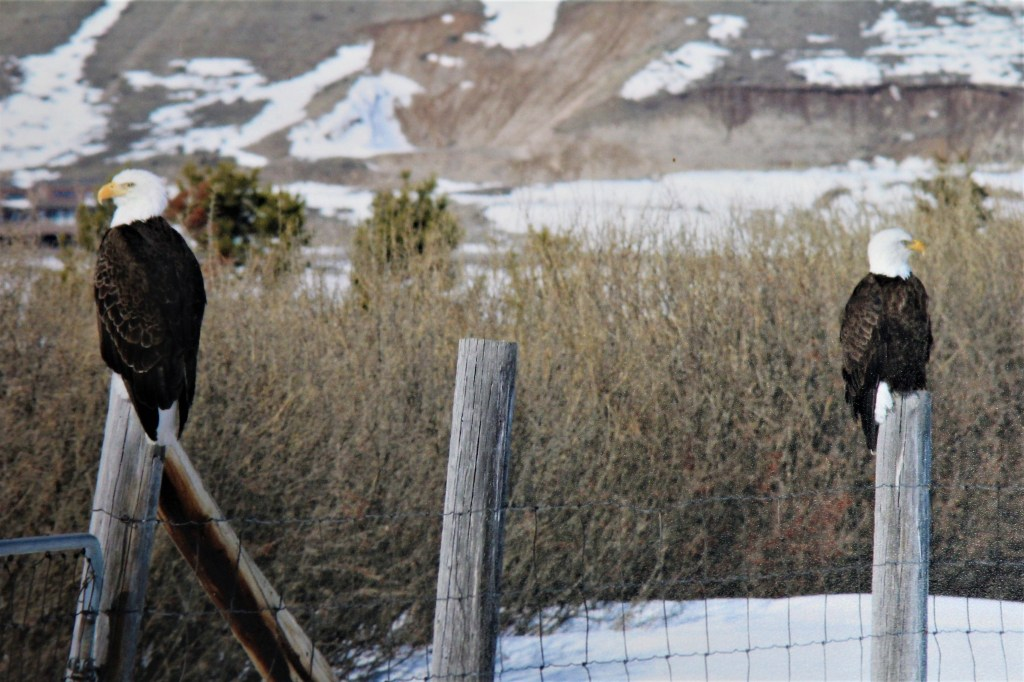 Eagles on posts on the National Elk Refuge