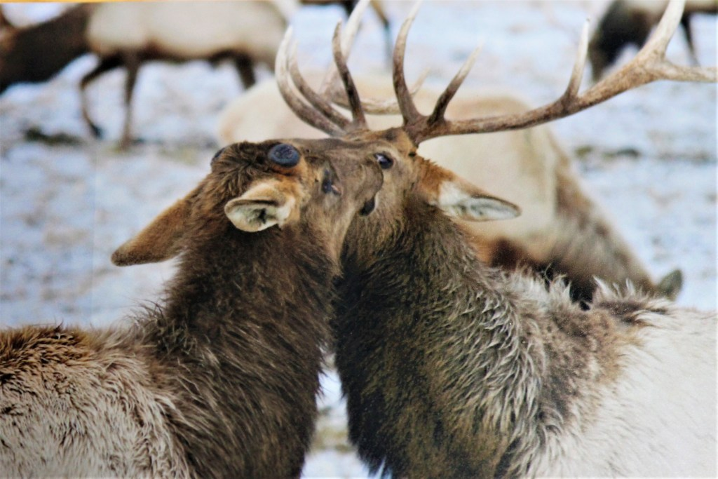 Two bull elk on the National Elk Refuge