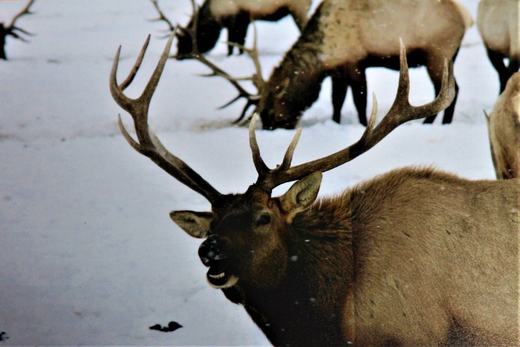 Bull elk on the National Elk Refuge