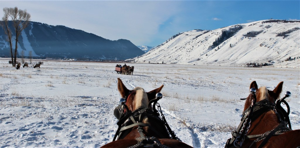 Two National Elk Refuge Sleigh Ride sleighs headed toward each other