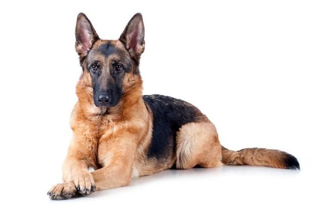 German Shepherd </p data-recalc-dims=