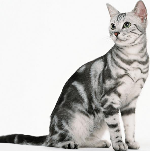 Jenis Kucing American Shorthair